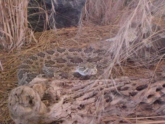 Serpent Sodoran Desert Museum