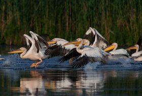 delta du danube oiseaux