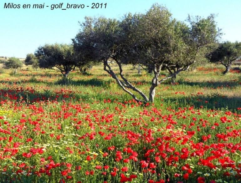 Milos en mai pavots et oliviers