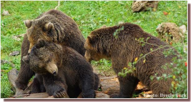 Ours bruns de Croatie au refuge de Kuterevo