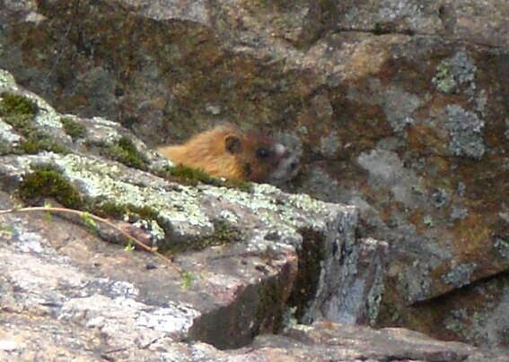 prairie dogs marmotte