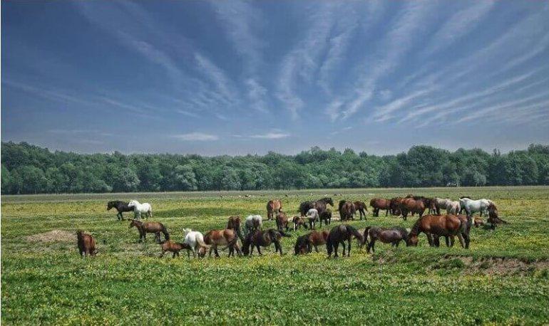 Lonjsko polje chevaux bozinova en liberté sur les bords de la sava