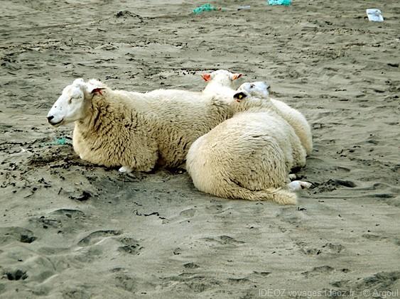 Lofoten moutons sur la plage de la baleine