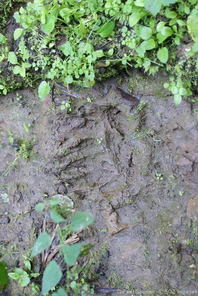 Trace récente laissée par un ours dans les monts de Zlatibor