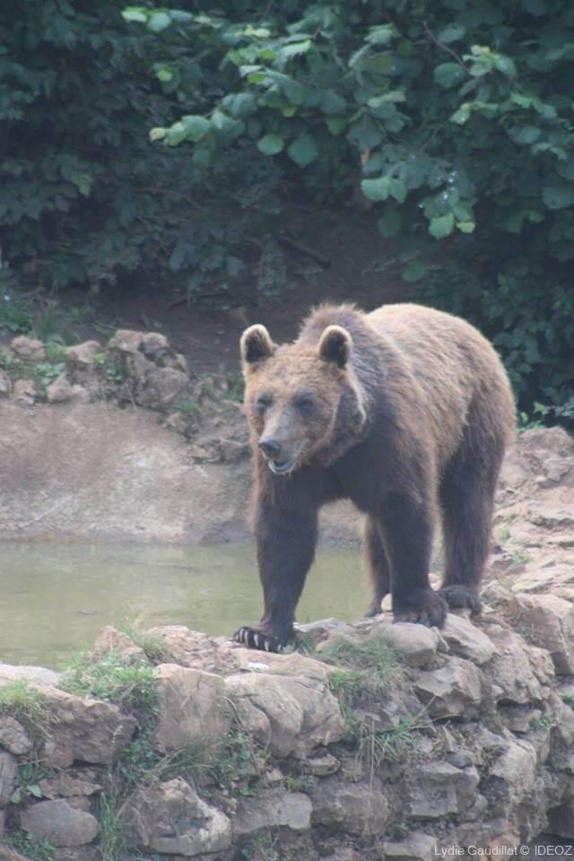 ours soigné dans le refuge des ours de Kuterevo (1)