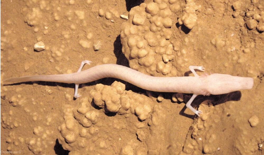 proteus anguinus protée anguillard créature dans les grottes karstiques des balkans