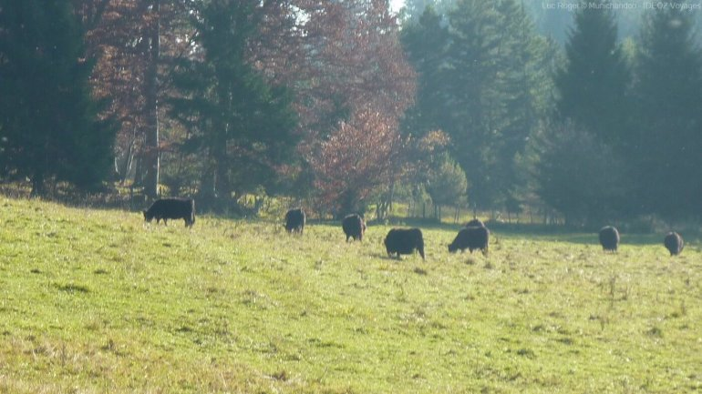 vaches noires angus paissant tranquillement près du lac ammersee en bavière