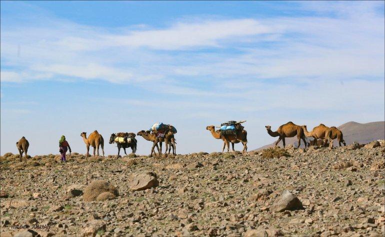 chameaux entre Saghro et le Haut Atlas au maroc