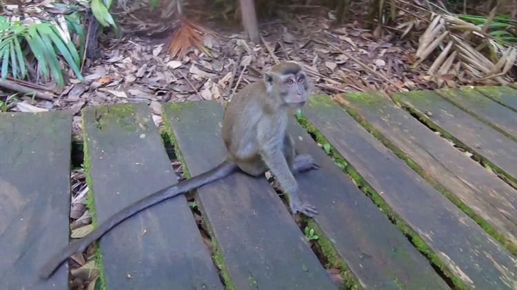 Un macaque, tranquillement posé au milieu du chemin de randonnée