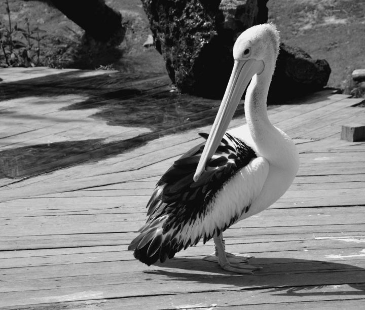 pelican-bw