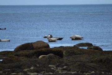 Parc du bic - observation des phoque sur la plage