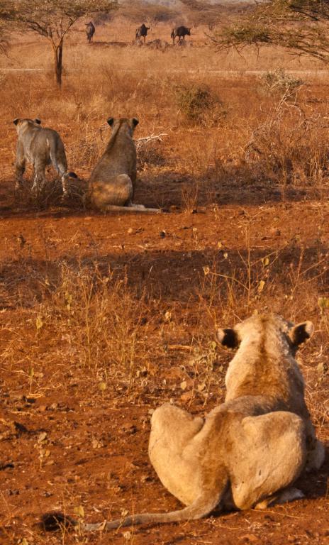 lions qui chassent en Afrique du Sud