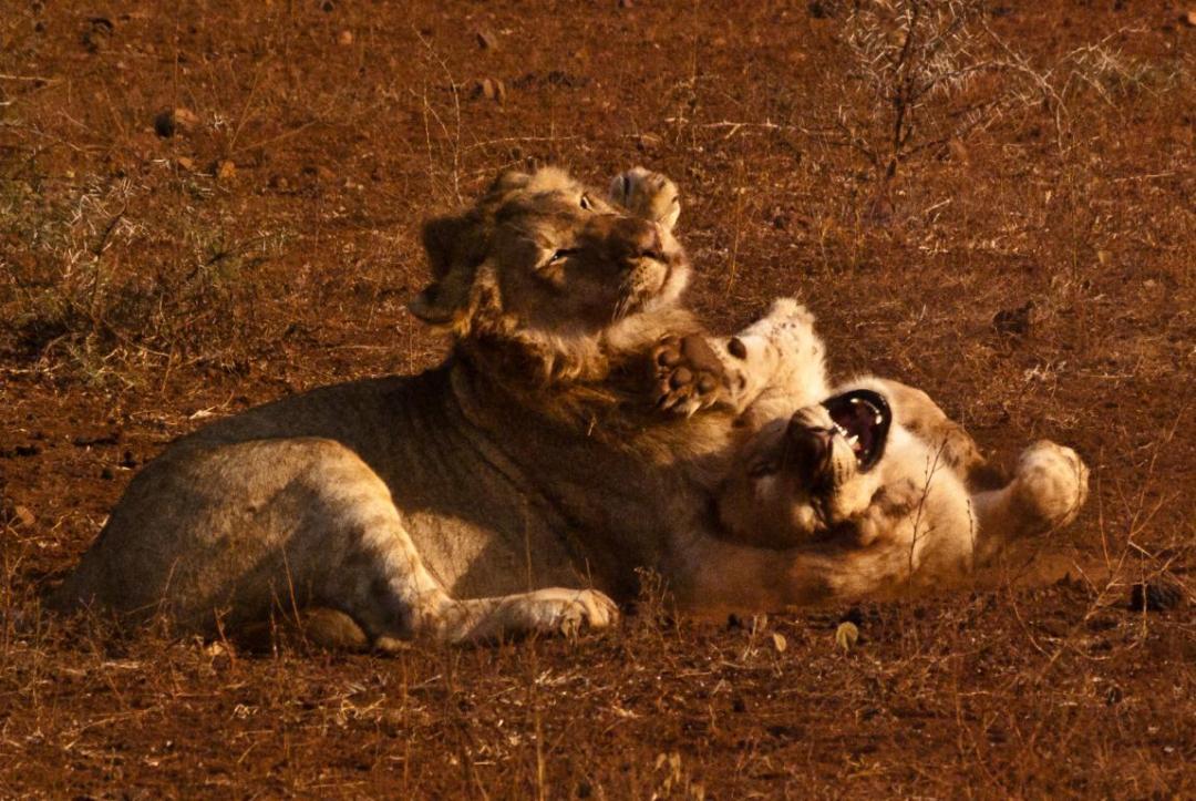 Observation lions volontariat international