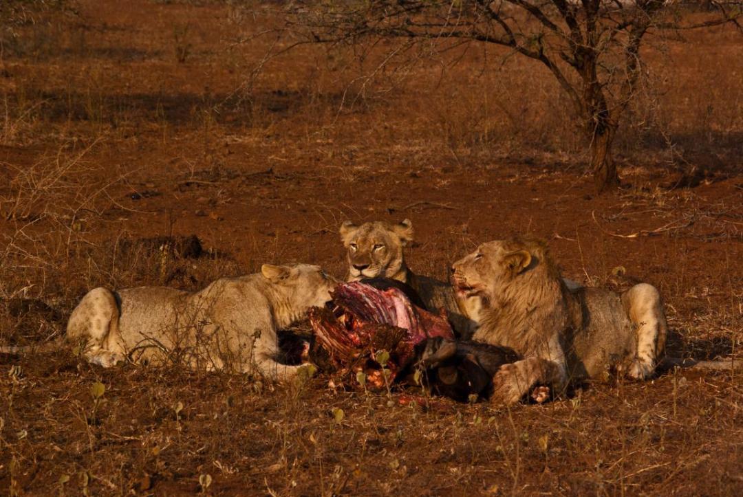 Lions qui mangent volontariat Afrique du Sud