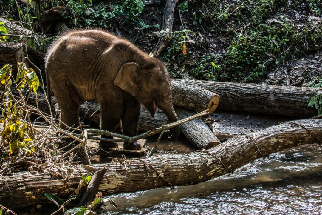 bébé éléphant d'Asie