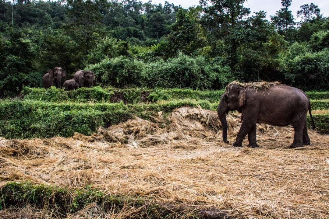 éléphants d'Asie dans habitat naturel