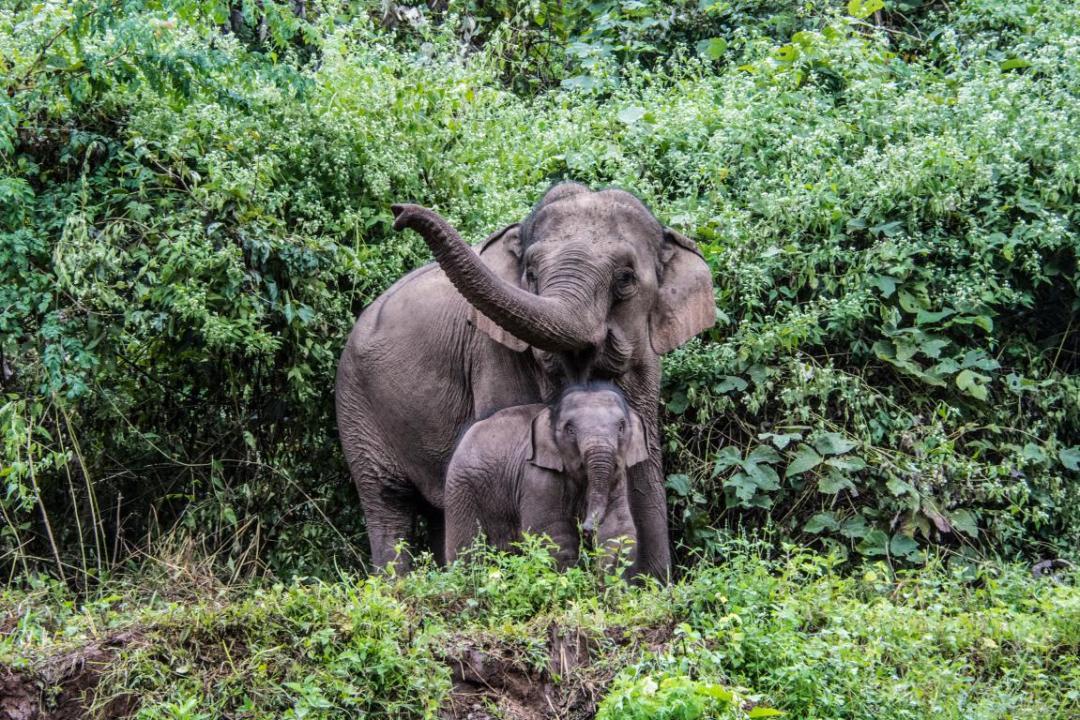 observation des éléphants d'Asie