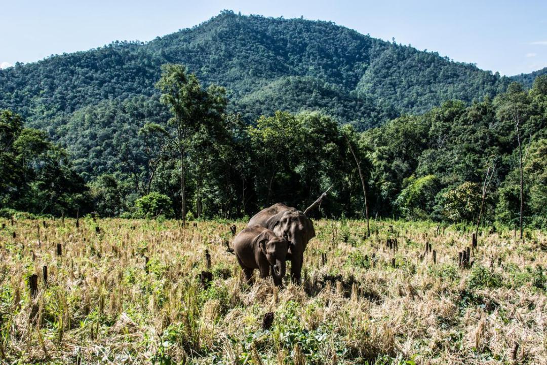 éléphants d'Asie dans la nature