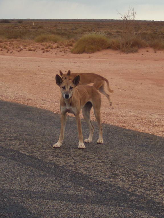 les dingos, des chiens sauvages
