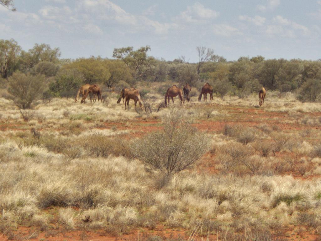 un troupeau de dromadaires sauvages dans le désert Australien
