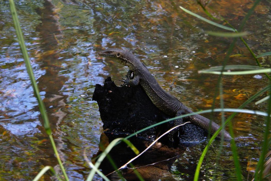 varan ou goanna dans milieu sauvage Austalie