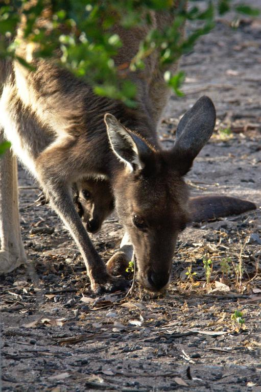kangourou Australie avec son bébé