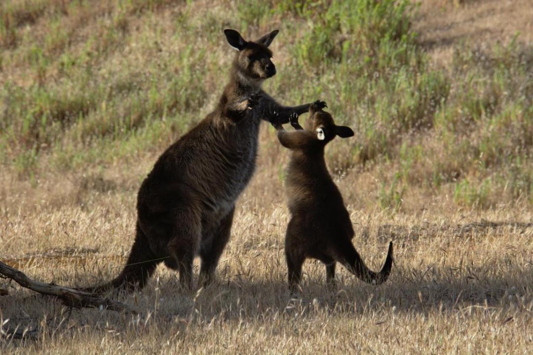 maman kangourou avec son bébé en milieu sauvage