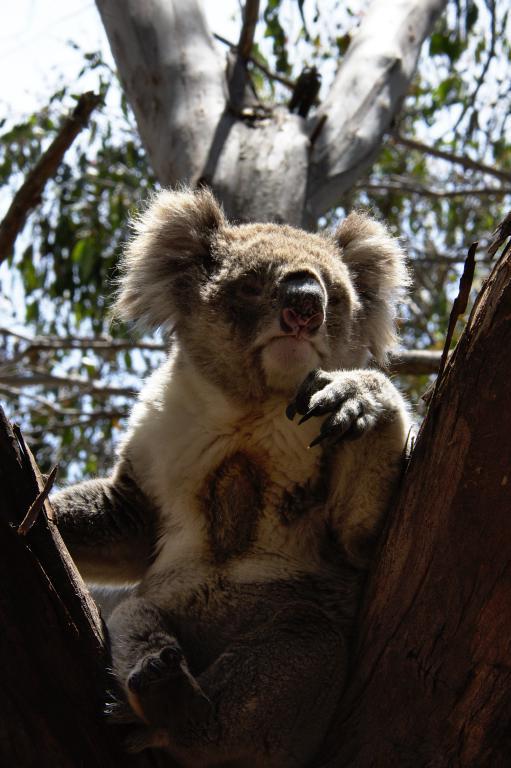 autres animaux sauvages d'Australie, les koalas