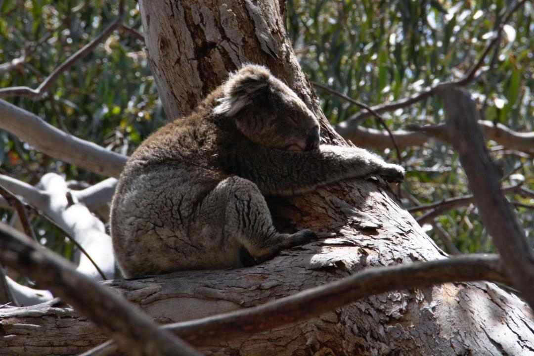 un koala sauvage aggripé à l'arbre