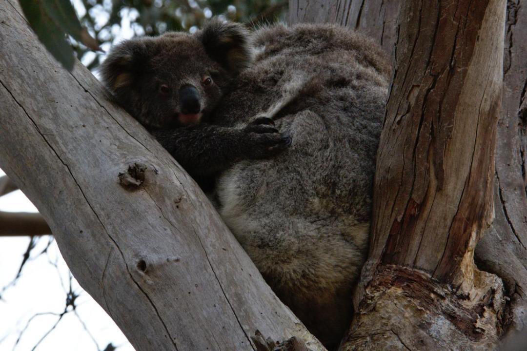 maman et bébé koala dans leur milieu sauvage