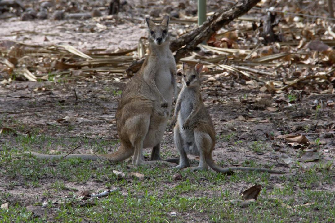 une famille de wallabies sauvages