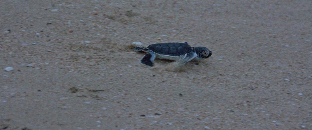 une dure réalité pour les bébés tortues dans leur mileu sauvage