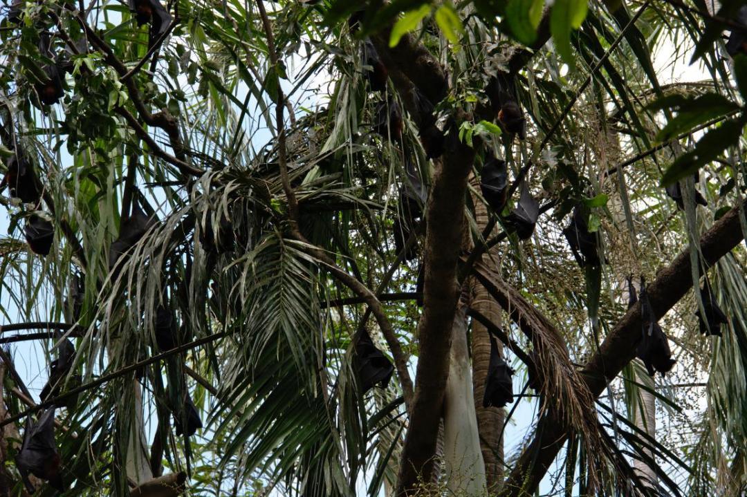 chauves-souris, des animaux sauvages qui se regroupent dans les arbres
