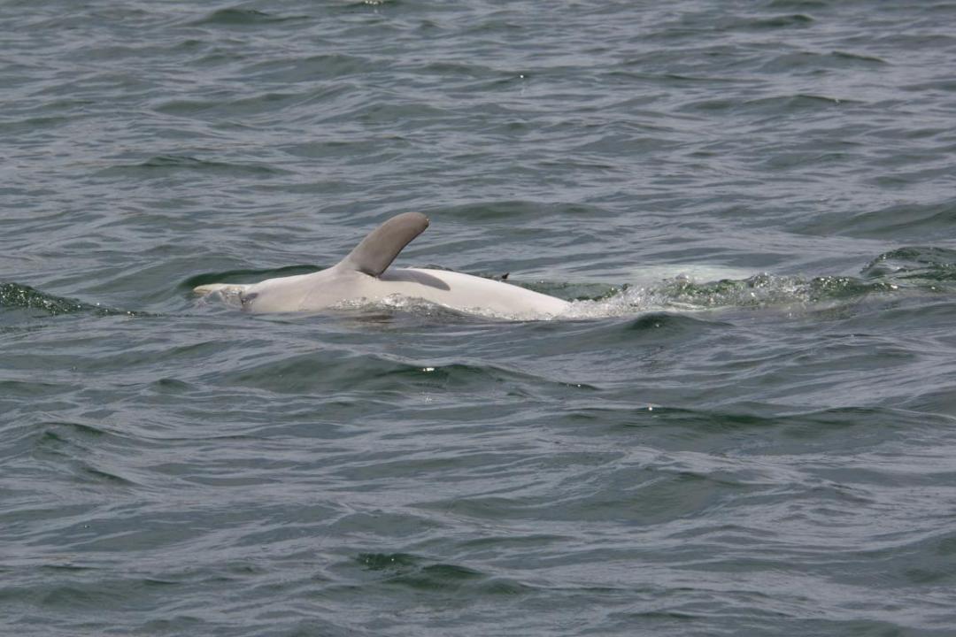 dauphin en Australie