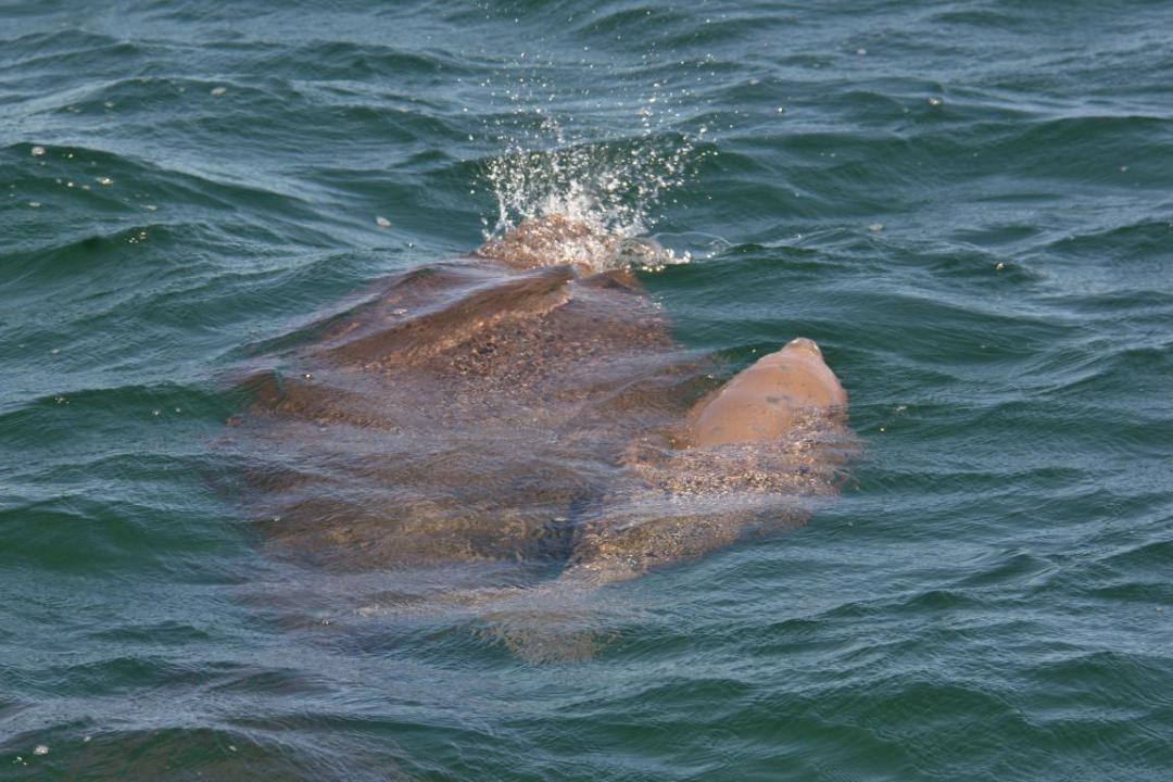 dugong avec bébé dans milieu sauvage