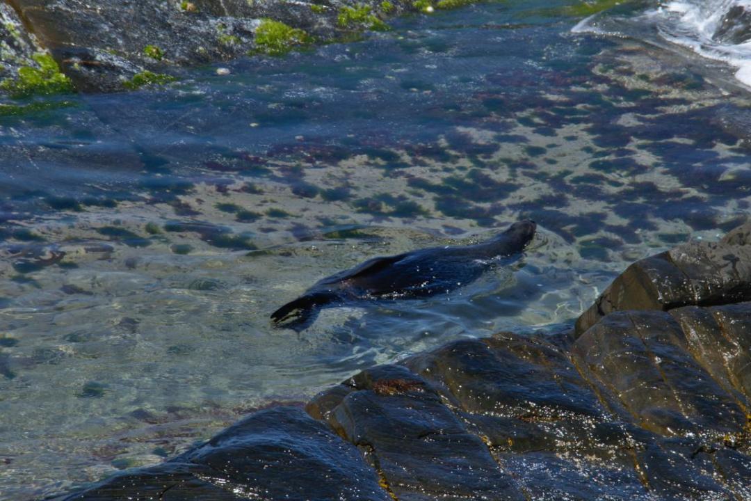 une otarie, un animal sauvage qui aime se relaxer dans l'eau