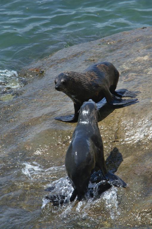 combat d'otaries sauvages