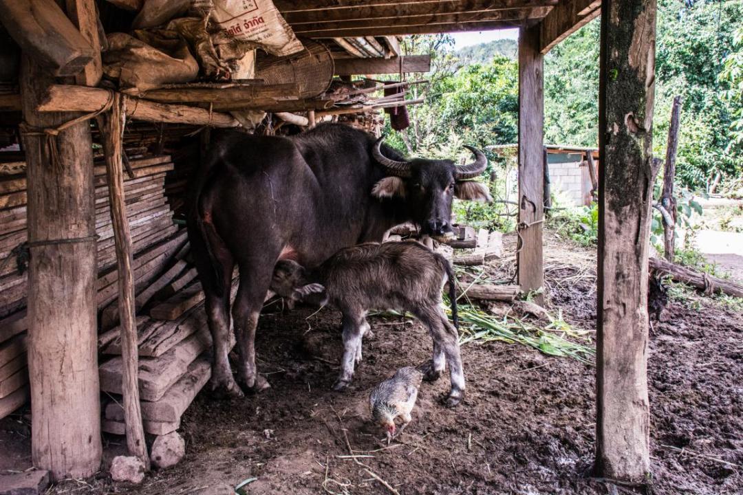 veau nouveau né dans village thailandais