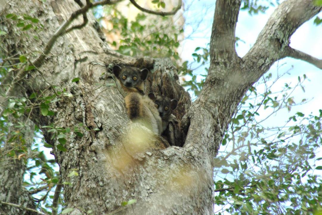 lémurien nocturne forêt sèche de Madagascar