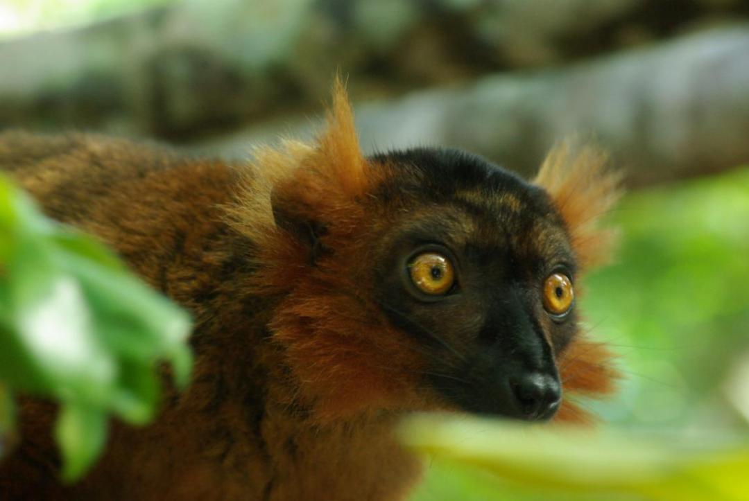 lémurien endémique de l'île de Madagascar