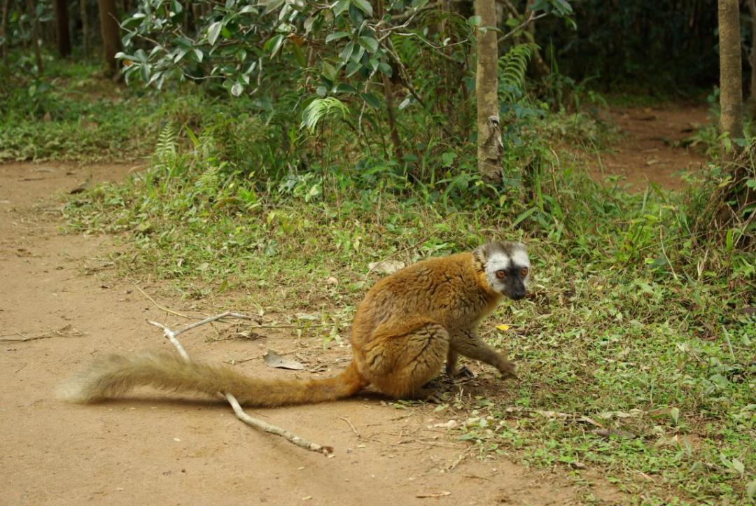 lémurien île de Madagascar
