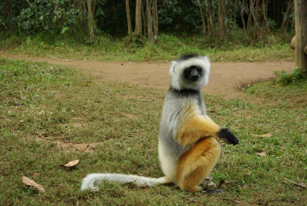 lémurien et biodiversité île de Madagascar