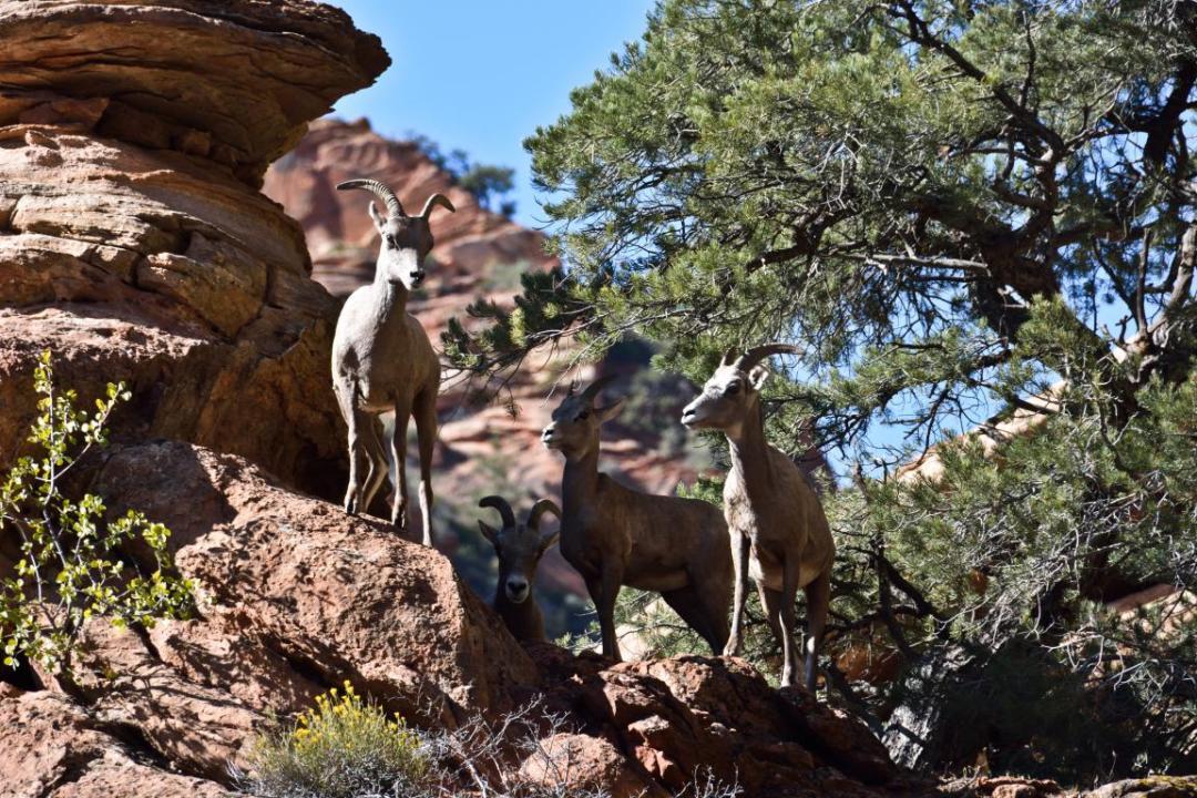 animaux de zion ouest américain