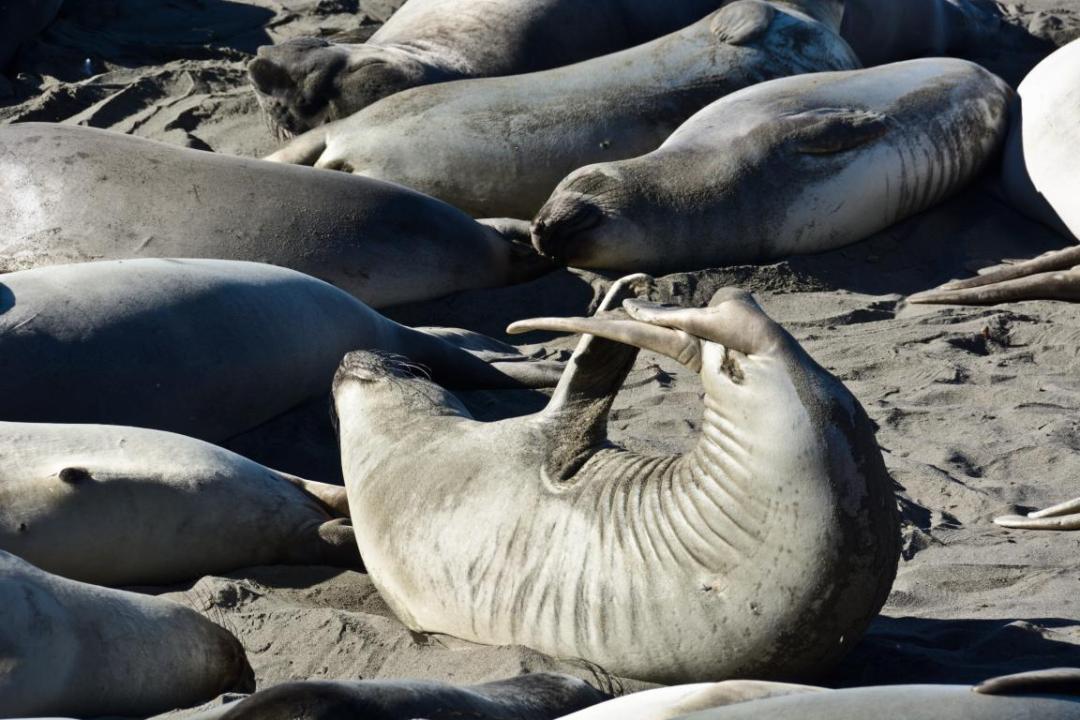 lion de mer sur la plage san simeon