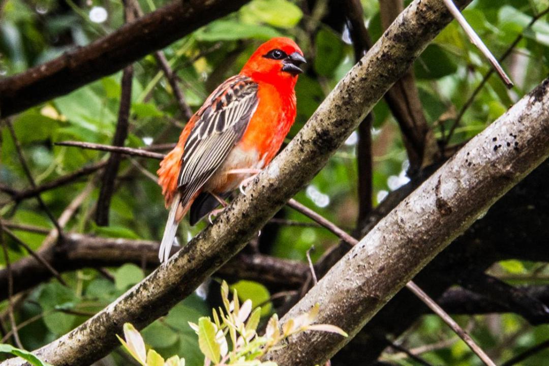 cardinal oiseau célèbre de l'île de la réunion