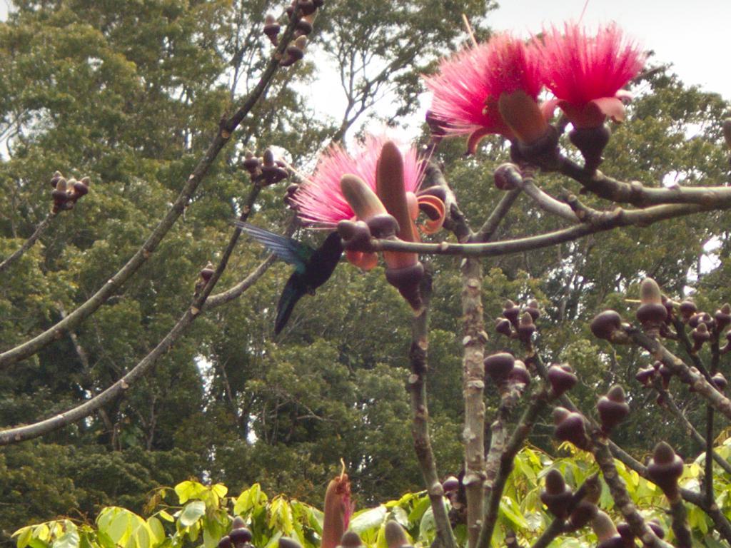oiseaux colibris martiniquais butinant une fleur dans les caraibes