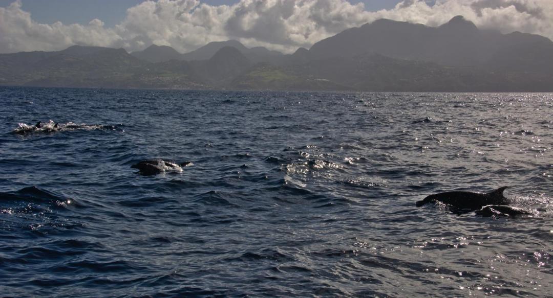 rencontre avec les dauphins au large de la martinique dans les caraibes