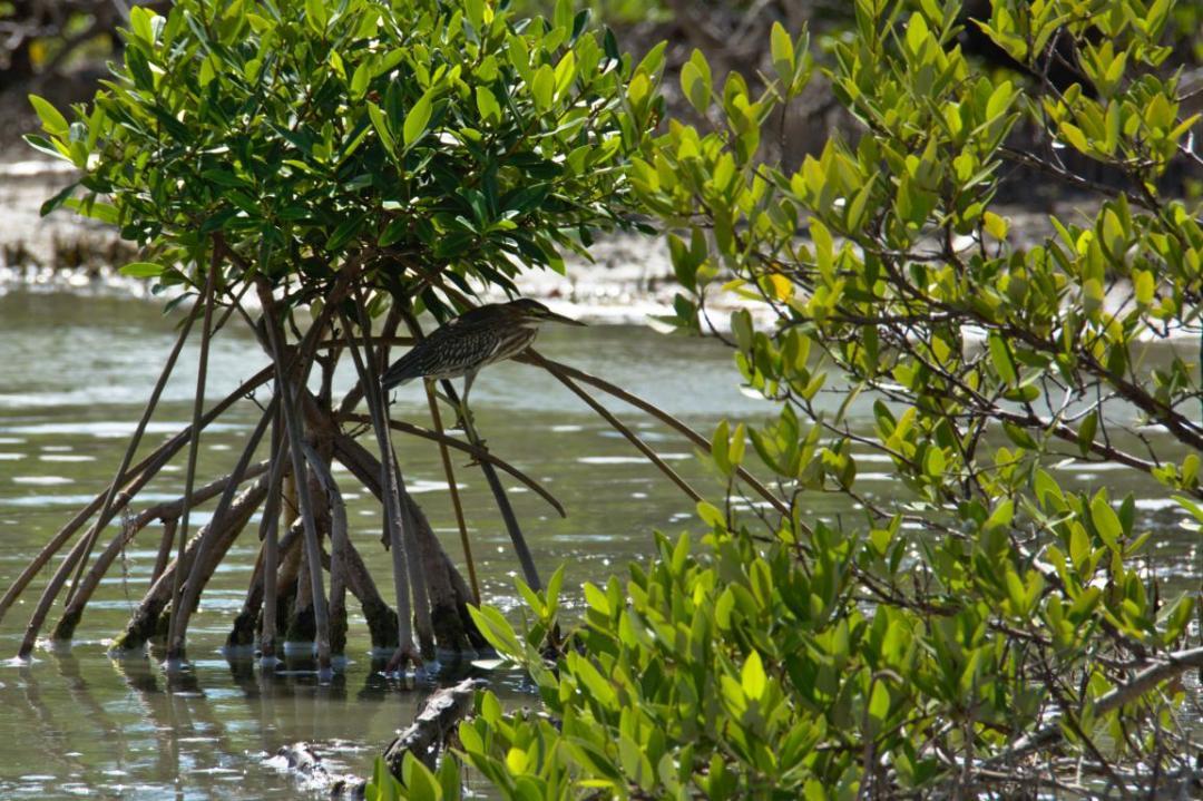 oiseau dans la mangrove à l'étang des Salines en Martinique