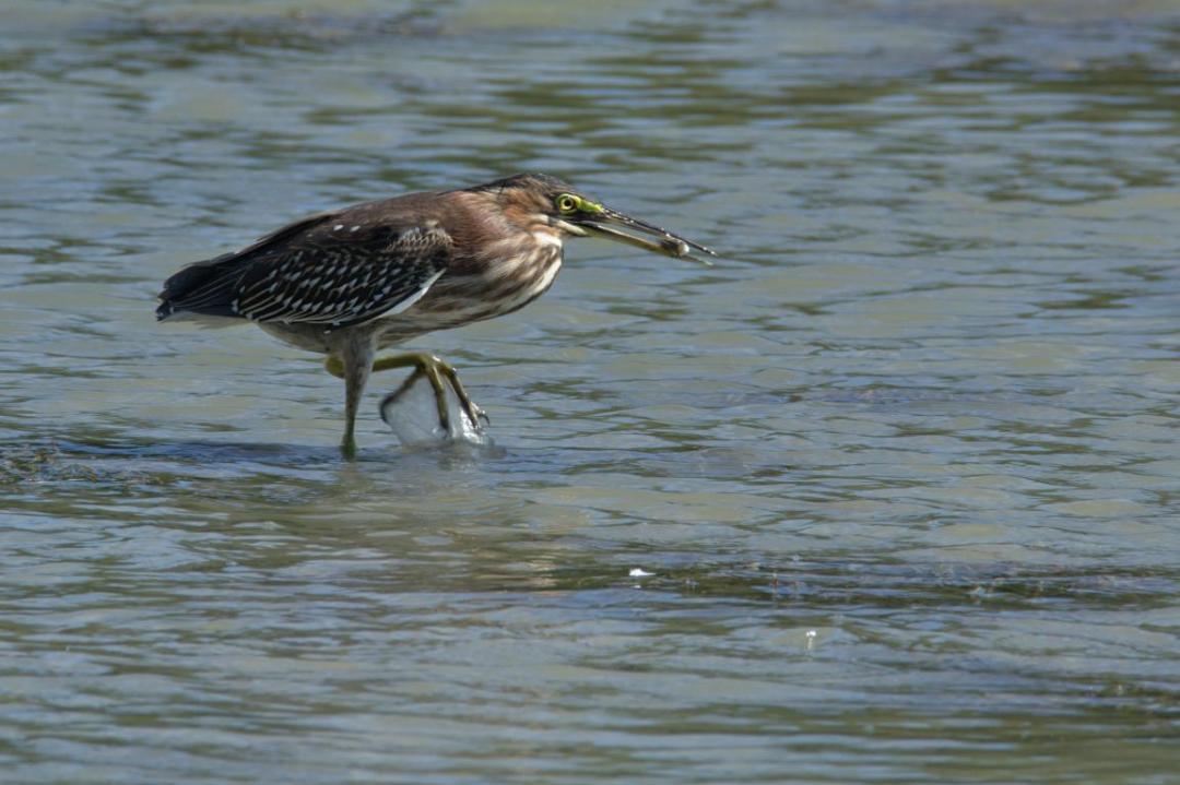 oiseau en train de pêcher dans l'étang des Salines en Martinique