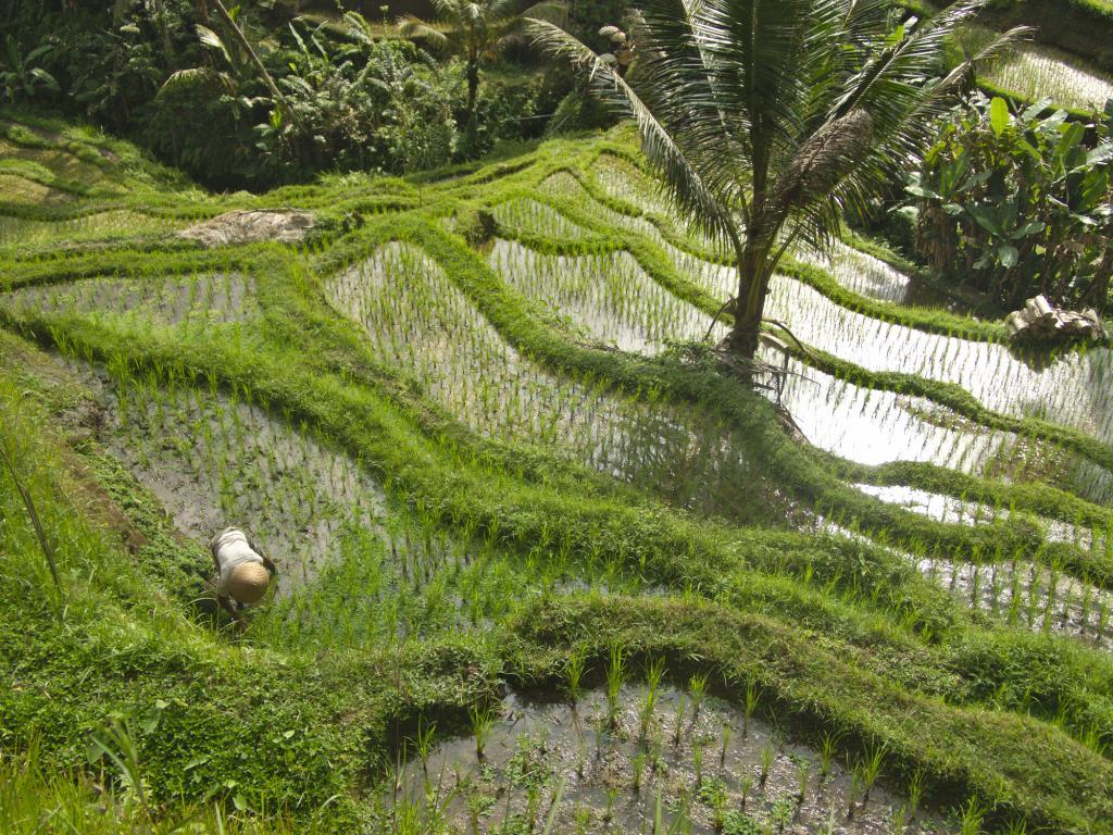 les rizières de Tegalagang à bali en indonése